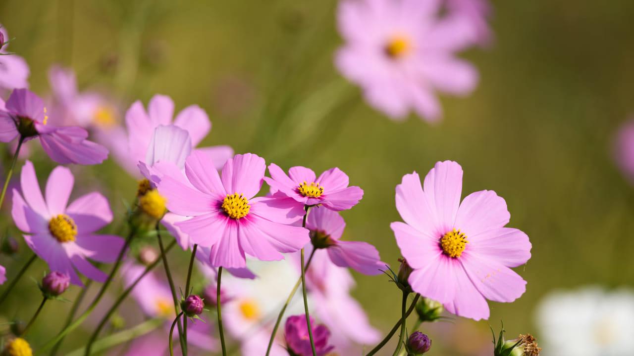 お花摘みイベントのコスモス